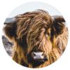 Muurcirkel - Schotse Hooglander kop kleur